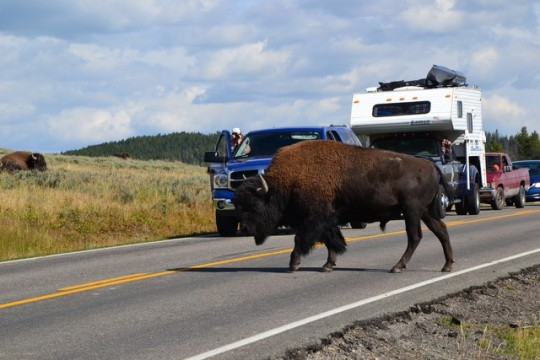 Bisons 1 Turistes 0