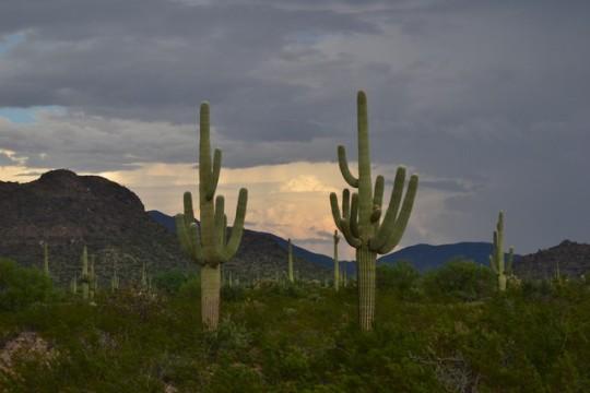 El mur de Trump i els saguaros